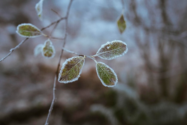 Leaves covered with frost at buachaille etive mor