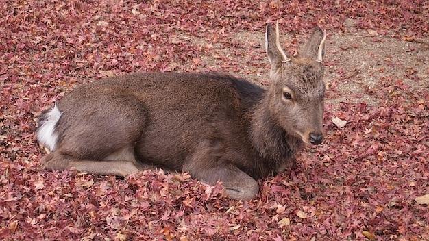 Leaves deer fallen miyajima hiroshima