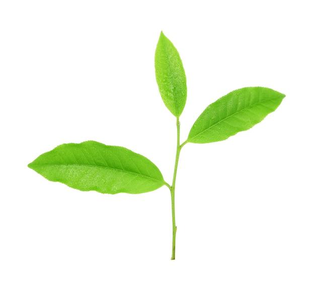 Листья свежий зеленый чай с каплями воды, изолированные на белом.