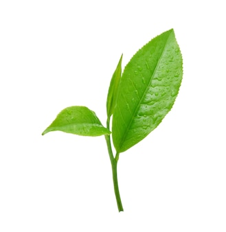 Листья свежий зеленый чай с каплями воды, изолированные на белом фоне