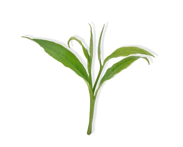 잎 격리와 신선한 녹차