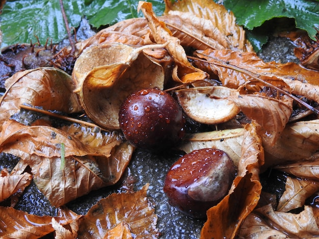 Leaves and fruits of horse chestnut after rain