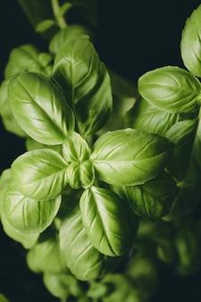 Foglie di una pianta verde isolata su uno sfondo nero