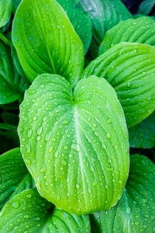 Leaves  hosta  with drops of dew. morning in the garden