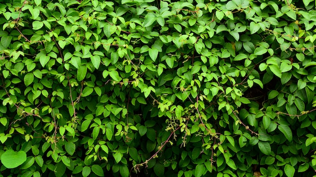 Leaves of ivy covering a little tree in the forest
