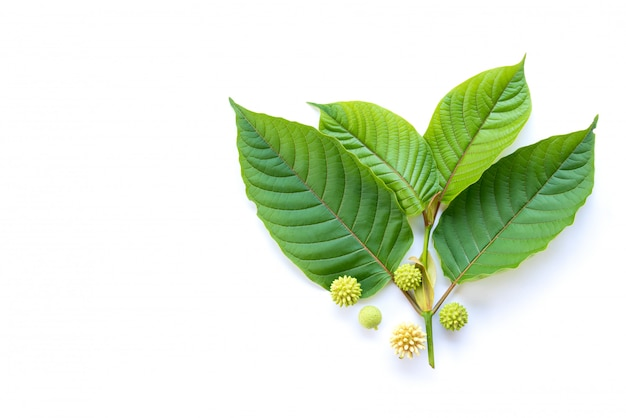 Leaves of kratom or mitragynine with fruits and flowers