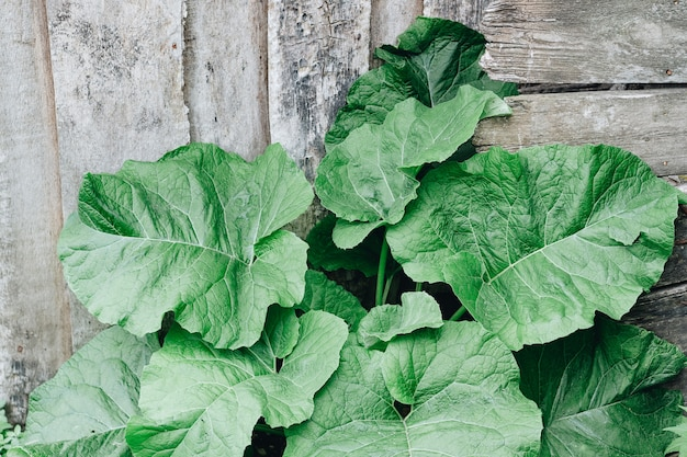Leaves of a large burdock on a wooden background. medicinal herbs.