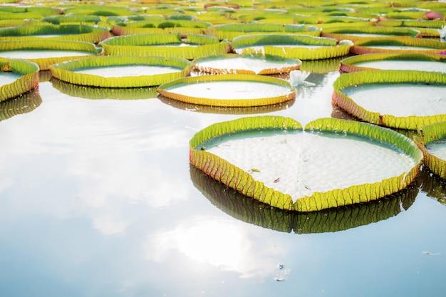 Leaves of lotus in pond.
