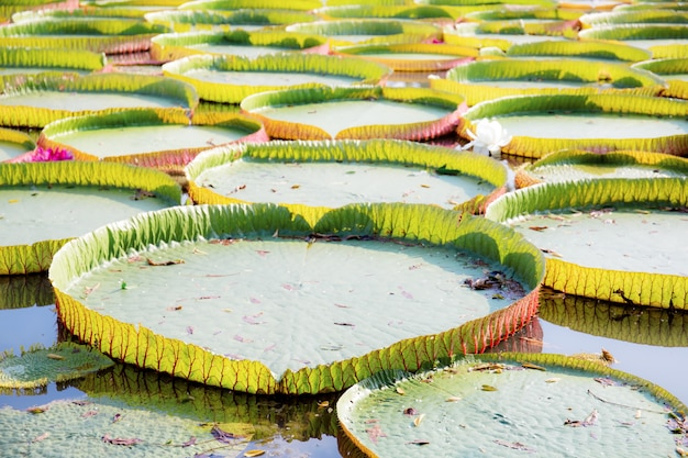 Leaves of lotus with sunrise.
