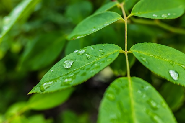 Leaves moistened with raindrops in a garden in the morning