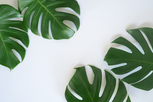 The leaves of monstera and fern the leaves separate the swiss cheese plant separately on a white