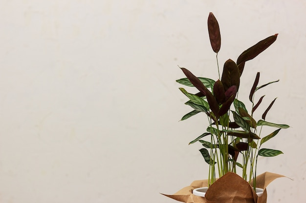 가벼운 벽에 관엽 식물 ktenana의 잎. 아름다운 배경, 텍스트를위한 장소.