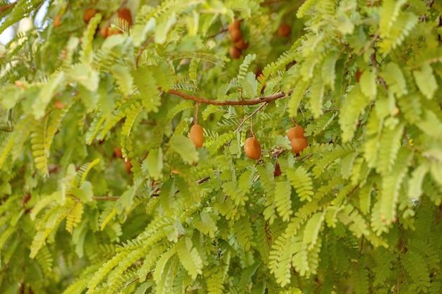 일부 과일이 선별적으로 초점을 맞춘 토마린도 나무의 잎
