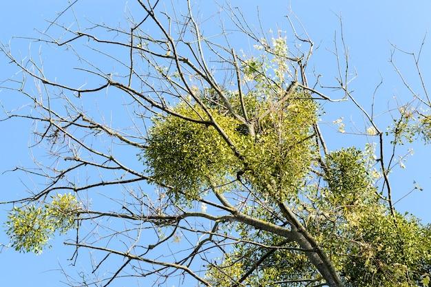Листья белой омелы на ветвях дерева без листвы осенью