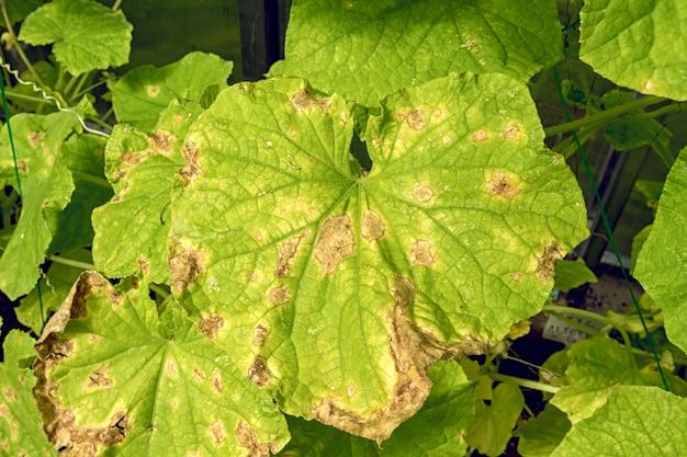 질병 및 해충의 영향을받는 오이 식물의 잎