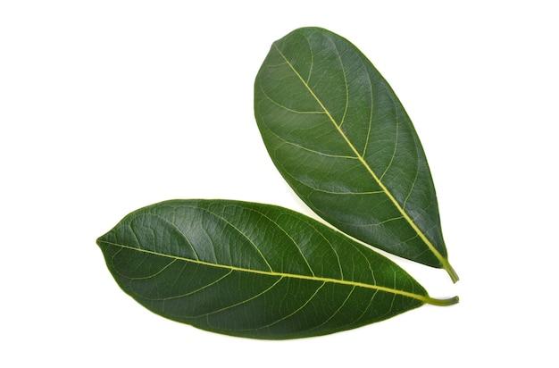 흰색 배경에 고립 된 jackfruit의 잎