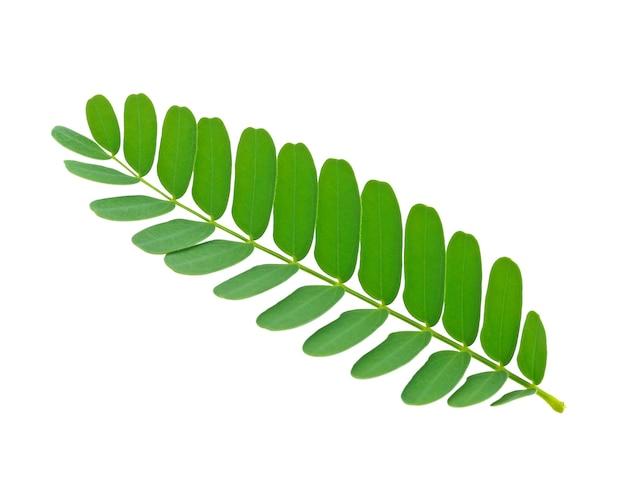 白い背景の上のタマリンドグリーンの葉