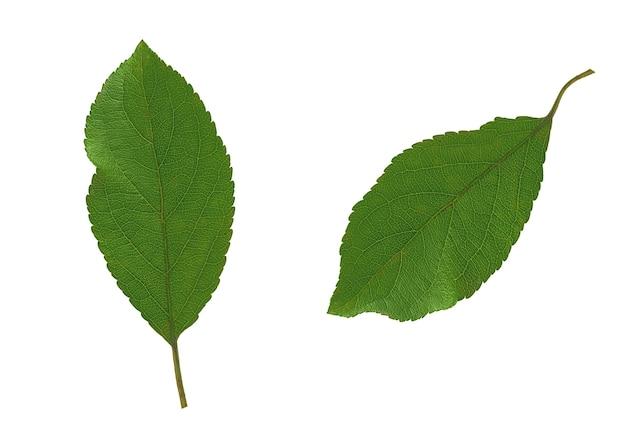 木の葉-リンゴ