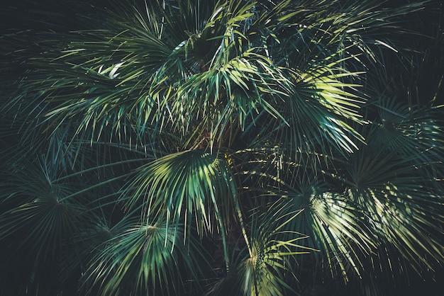 一般的に砂漠のファンパームまたはカリフォルニアのファンパームとして知られているワシントンヤシの葉