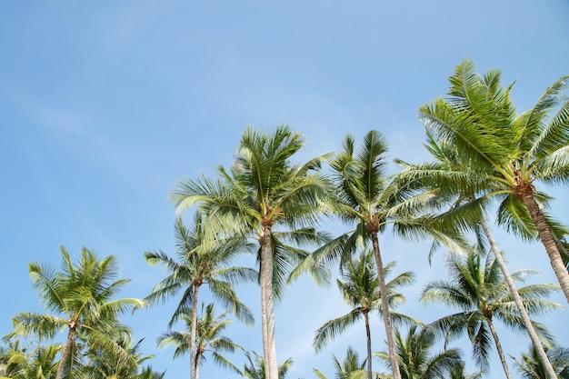 열 대 해안, 여름 나무, 아름 다운 여름 풍경 배경에서 푸른 하늘에 대 한 팜 코코넛 나무 농장을 나뭇잎. 투시도 공간 복사 하늘에 메시지를 작성합니다.