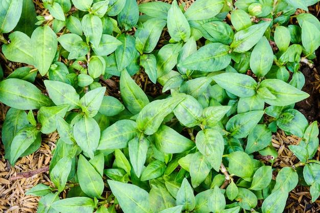 The leaves of persicaria odorata (polygonum odoratum lour) top view in garden