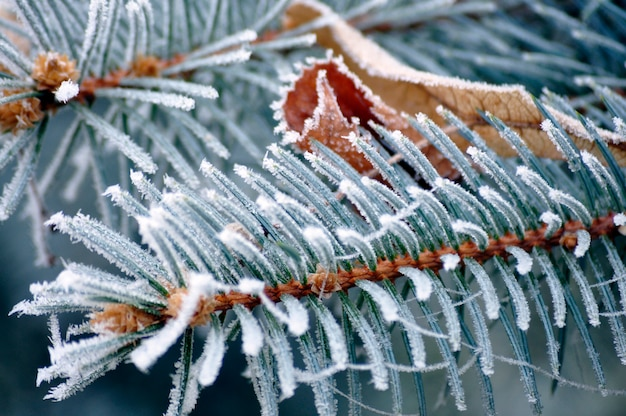 Leaves of a pine frozen
