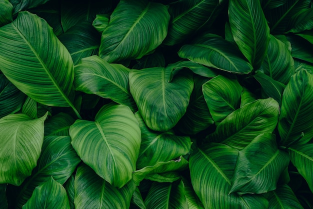 Leaves of spathiphyllum cannifolium abstract green texture nature background tropical leaf