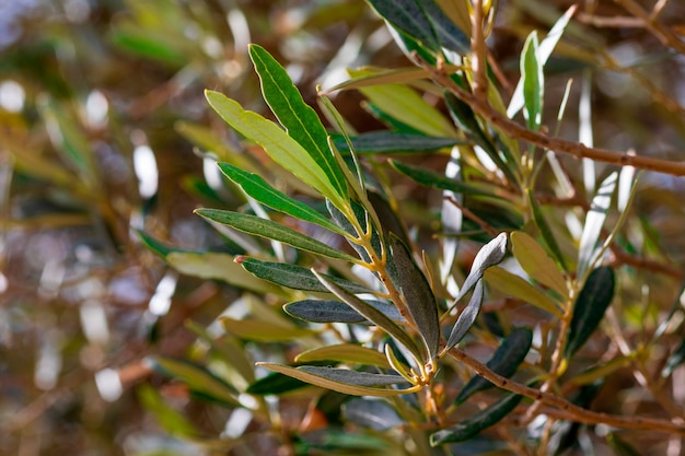 Leaves, stems and branches of the olive tree. defocused texture of green tones (olive, light and dark, ocher)