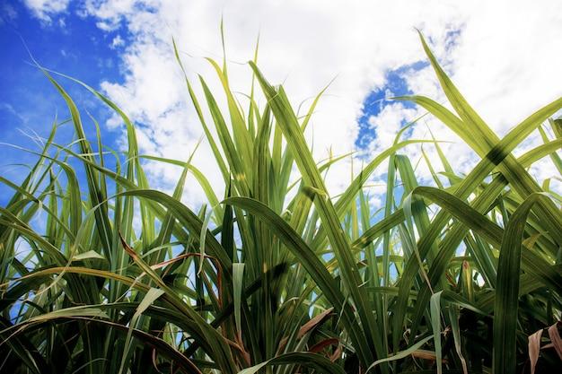 Leaves sugarcane at blue sky.