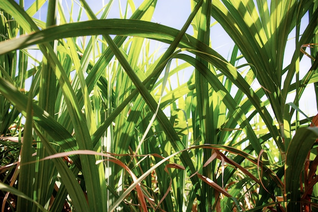 Leaves of sugarcane at sunlight.