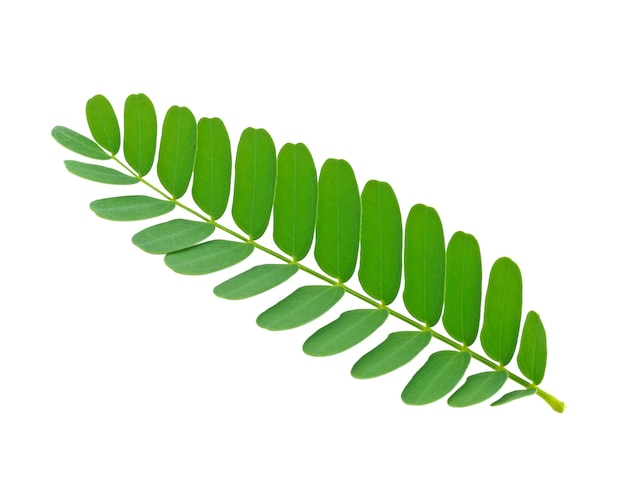 Leaves of tamarind green on white background