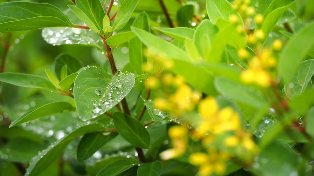 Leaves and trees in the rainy season. there is a drop of water.