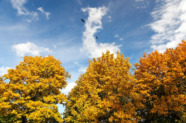 The leaves turned yellow foliage in the park trees.