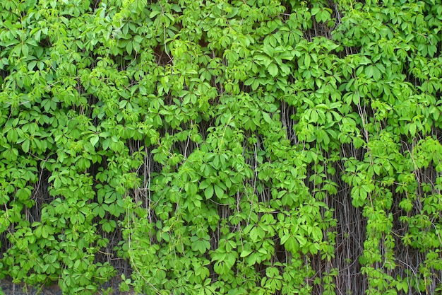 Leaves of wild grapes.
