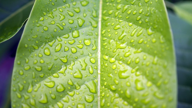Leaves with water drops. green leaf with water drops for background.
