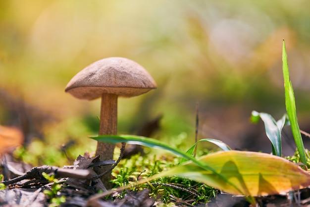 秋の森のleccinum versipelleキノコ