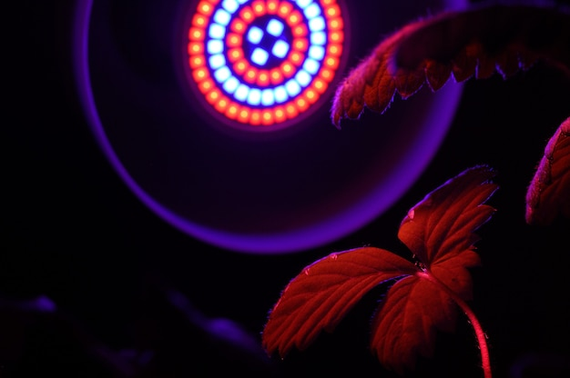 농업용 식물 재배용 led 램프, phytolamps. fito 램프 아래에 집 식물.