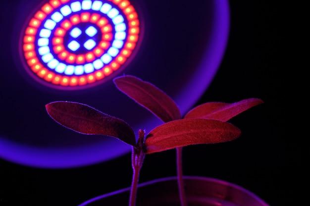 農業用植物を育てるledランプ、フィトランプ。観葉植物はフィトランプの下にあります。