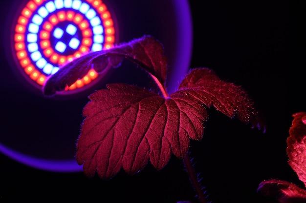 Ledフィトランプは植物の葉からの赤い光で照らされています。閉じる。