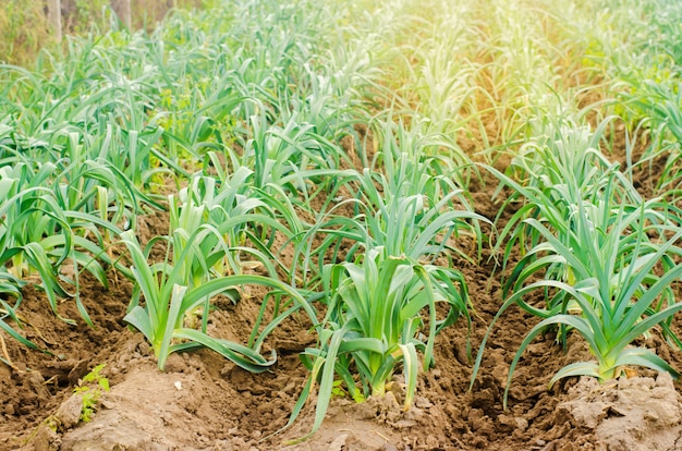 Leek growing in the field. agriculture