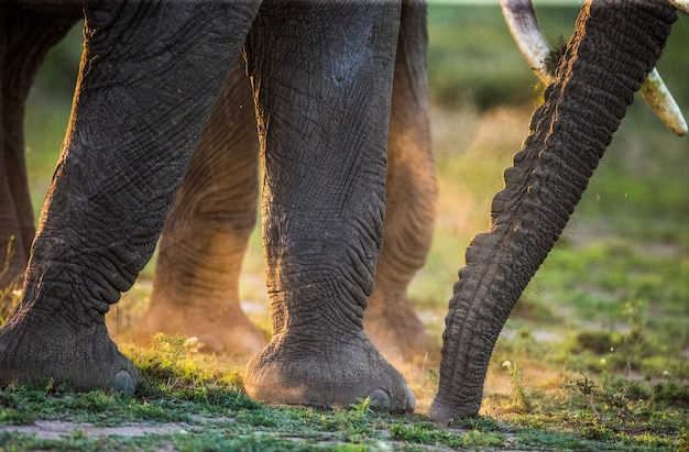 ほこりの象の足とトランク