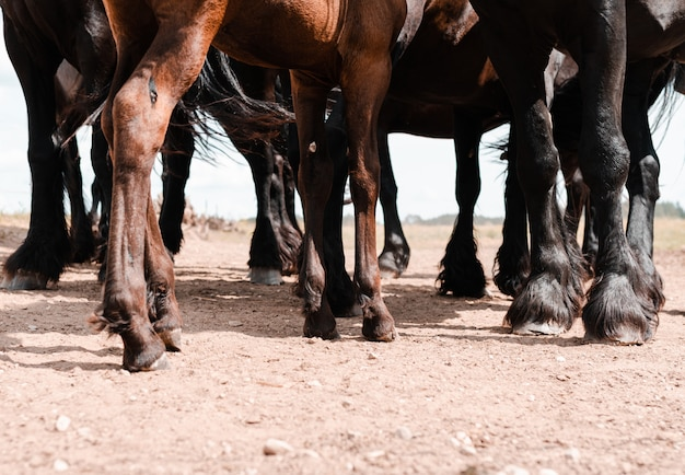 Legs of brown and black horses