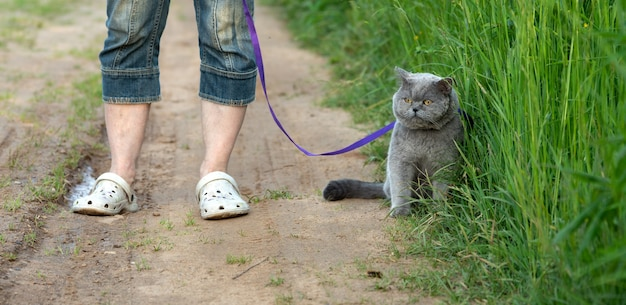 Legs of a woman with a british shorthair cat with a wounded cheek on a leash on a countryside road in summer evening
