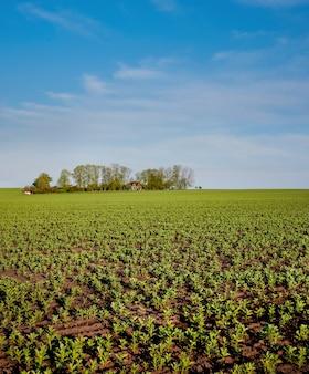 Бобовые, фасоль, фава, флора, бобы, поле весной. вид на сельское хозяйство с островом деревьев посреди поля