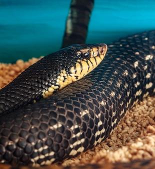 Leioheterodon madagascariensis or malagasy giant hognose snake