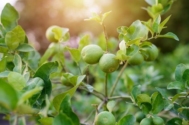 Лимон и листья с вспышкой света размытым фоном.