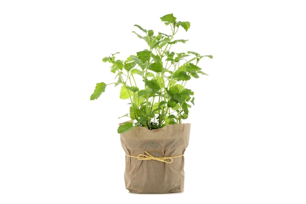 Lemon balm in flower pot isolated on white background