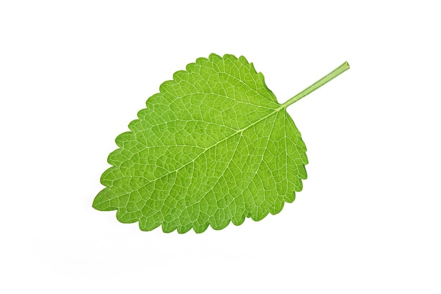 Lemon balm green leaf isolated on white surface