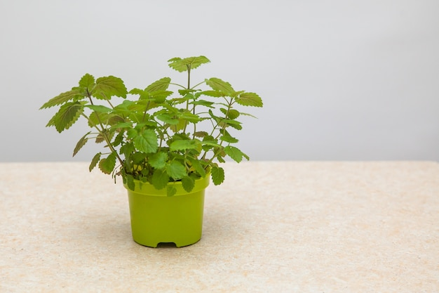 Lemon balm. melissa grown from seeds in a green pot