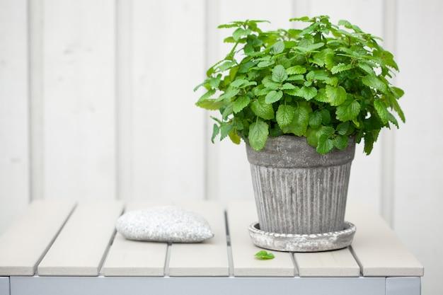 バルコニーの植木鉢にレモンバーム(メリッサ)ハーブ
